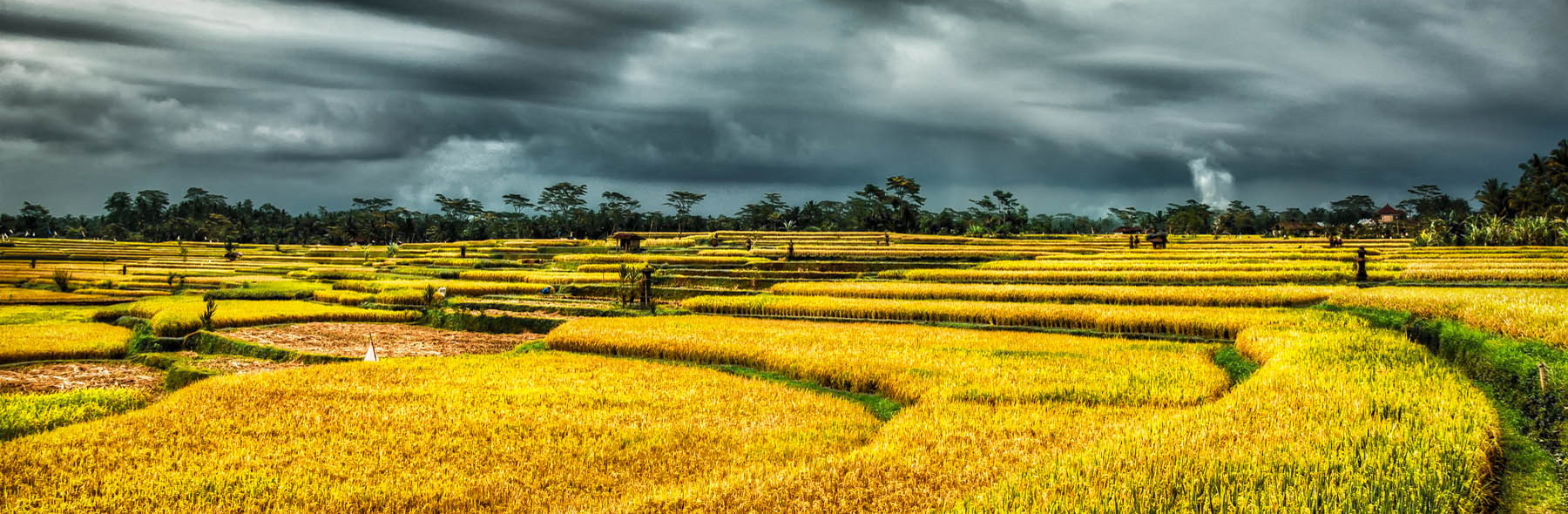 Harvested-Rice-Paddy